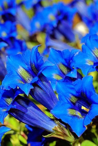 Gentians Dodger Blue picture2