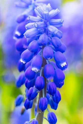 Grape Hyacinth Palatinate Blue picture2